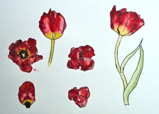 tulipan3-1