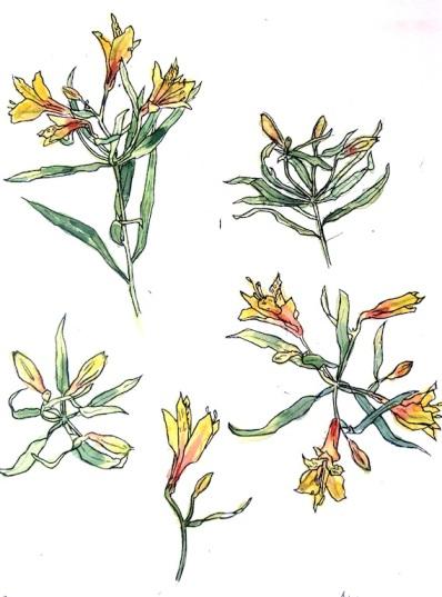 astroemeria1