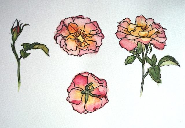 Toscana-Rose, 25x18, 350,-